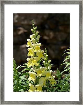 Creamy Yellow Snapdragon Framed Print by Maria Urso