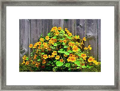 Creeping Hibiscus Framed Print