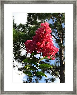 Crepe Myrtle And Mr. Pine Framed Print