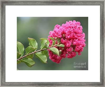Crepe Myrtle Branch Framed Print