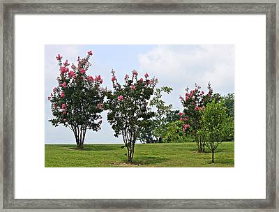 Crepe Myrtle Trees Framed Print by Carolyn Ricks