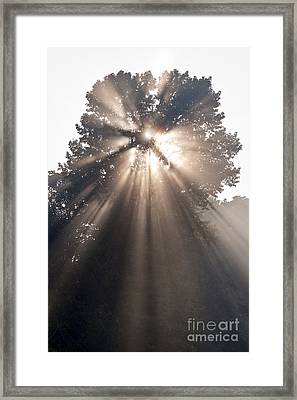 Crepuscular Rays Coming Through Tree In Fog At Sunrise Framed Print