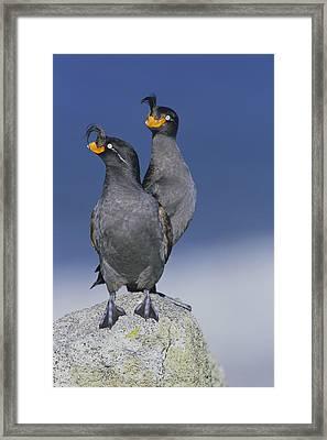 Crested Auklet Pair Framed Print