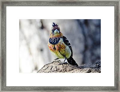 Crested Barbet Framed Print