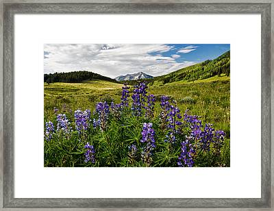 Crested Butte Lupines Framed Print