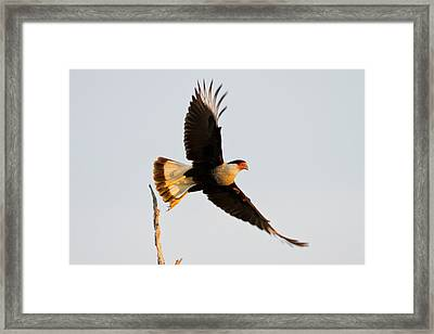 Crested Caracara (caricara Cheriway Framed Print by Larry Ditto