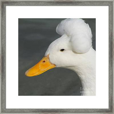 Framed Print featuring the photograph Crested Duck by Bob and Jan Shriner