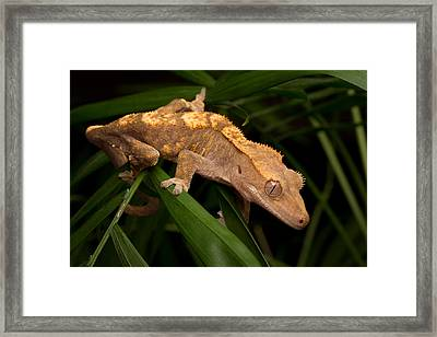 Crested Gecko Rhacodactylus Ciliatus Framed Print by David Kenny
