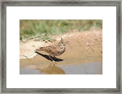 Crested Lark Drinking Water Framed Print