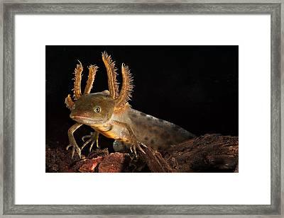 Crested Newt Larva Framed Print by Dirk Ercken