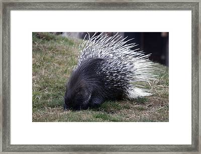 Crested Porcupine - 0004 Framed Print by S and S Photo