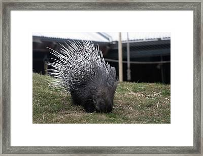 Crested Porcupine - 0005 Framed Print by S and S Photo