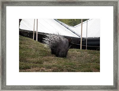 Crested Porcupine - 0006 Framed Print by S and S Photo
