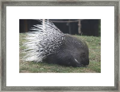 Crested Porcupine - 0007 Framed Print by S and S Photo