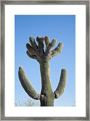 Crested Saguaro Cactus Framed Print