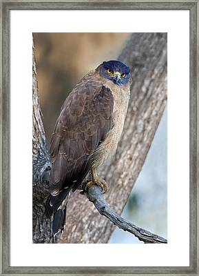 Crested Serpent Eagle Spilornis Cheela Framed Print by Panoramic Images