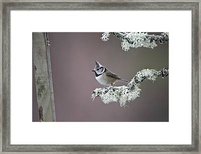 Crested Tit Framed Print by Science Photo Library