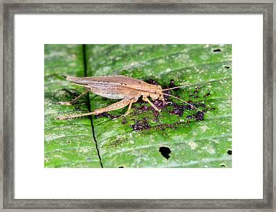 Cricket Feeding On Fallen Fruit Framed Print