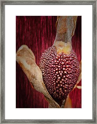 Crimson Canna Lily Bud Framed Print by Bill Tiepelman