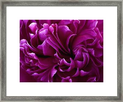 Crimson Chiffon Framed Print