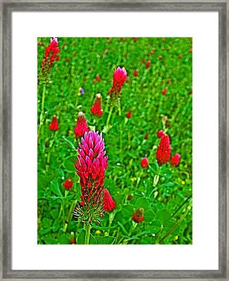 Crimson Clover At Mile 199 Of Natchez Trace Parkway-mississippi Framed Print by Ruth Hager