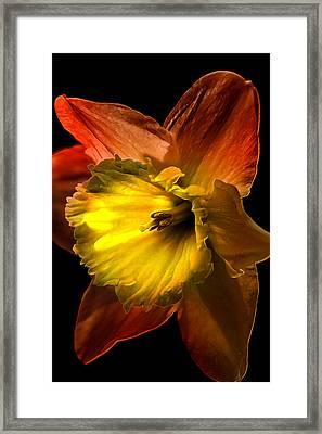 Crimson Daffodil Framed Print