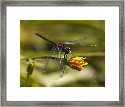 Framed Print featuring the photograph Crimson-ringed  White Face Dragonfly On Flower by Lee Kirchhevel