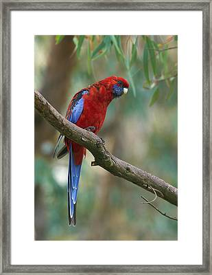 Crimson Rosella Parrot Canberra Framed Print by Martin Willis