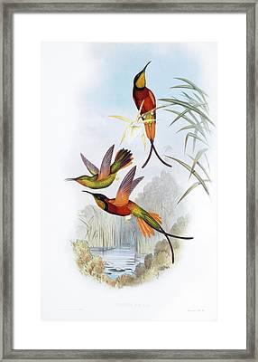 Crimson Topaz Hummingbirds Framed Print