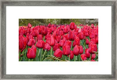 Crimson Tulips  Framed Print by Richard Reeve