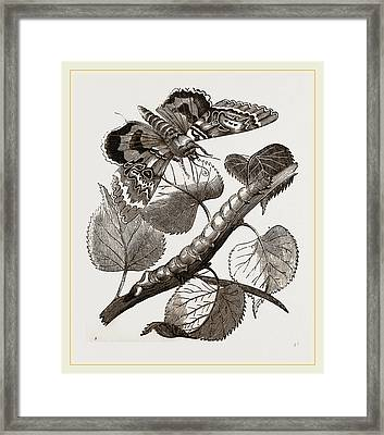 Crimson-underwing Moth And Caterpillar Framed Print