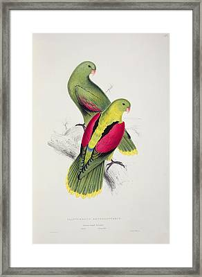 Crimson Winged Parakeet Framed Print by Edward Lear