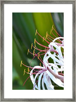 Framed Print featuring the photograph Crinum Lily by Darla Wood