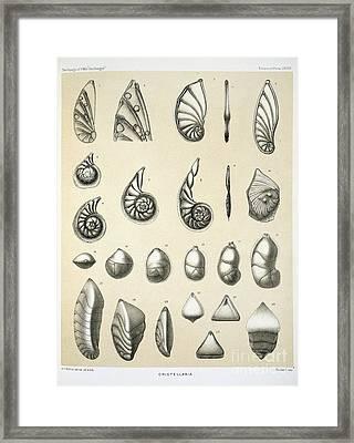Cristellaria Foraminifera, Hms Challenger Framed Print