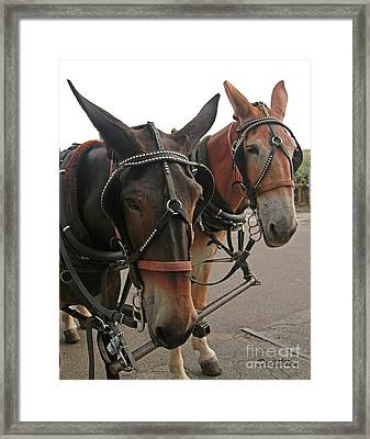 Mules In Harness -crocket And Tubbs Framed Print