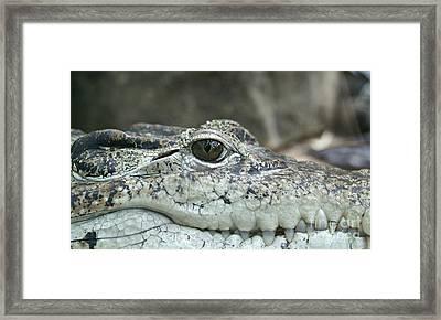 Framed Print featuring the photograph Crocodile Animal Eye Alligator Reptile Hunter by Paul Fearn