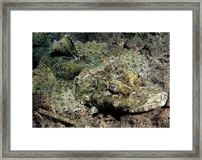 Crocodile Flathead Framed Print