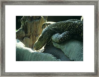 Crocodile Monitor Lizard Framed Print by Sally Mccrae Kuyper/science Photo Library