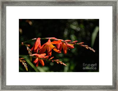 Framed Print featuring the photograph Crocosmia 'dusky Maiden' Flowers by Scott Lyons