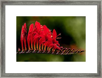 Crocosmia Framed Print