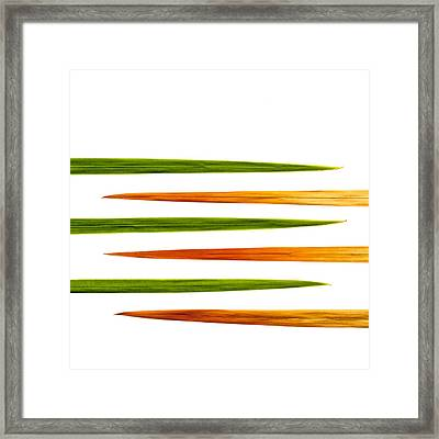 Crocosmia Leaves On White Background Framed Print by Carol Leigh