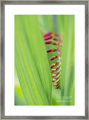 Crocosmia Lucifer Flower Buds Framed Print