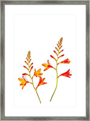 Crocosmia On White Framed Print by Carol Leigh
