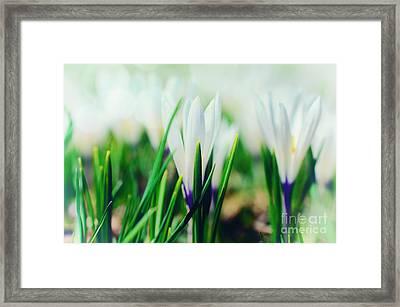 Crocus Blue Framed Print by Sabine Jacobs
