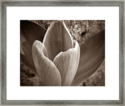 Crocus  Framed Print by Chris Berry
