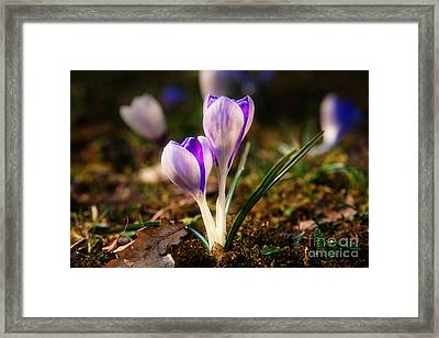Framed Print featuring the photograph Crocus by Christine Sponchia