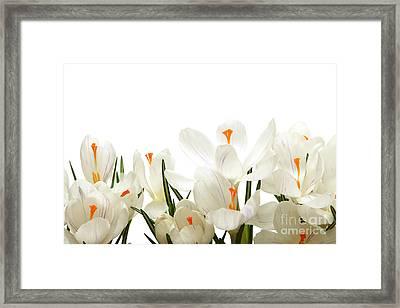 Crocus Flower Framed Print by Boon Mee