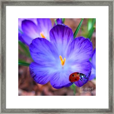 Crocus Flower With Ladybug Framed Print by Debra Thompson