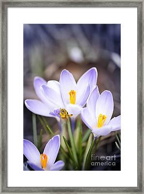 Crocus Flowers And Bee Framed Print by Elena Elisseeva