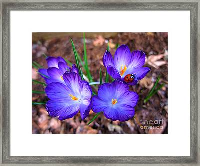 Crocus Flowers And Ladybug Framed Print